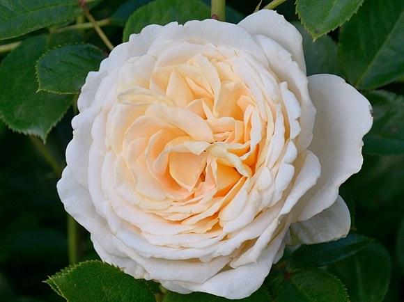 Cream Abundance сорт розы купить саженцы в Минске фото