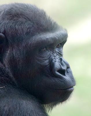 Gorilla at the Philadelphia Zoo