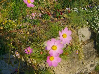 山田池公園周辺で出会った花たち コスモス