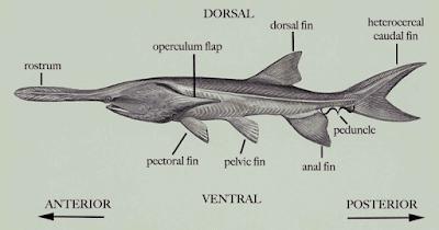 Bentuk Fisik Paddlefish