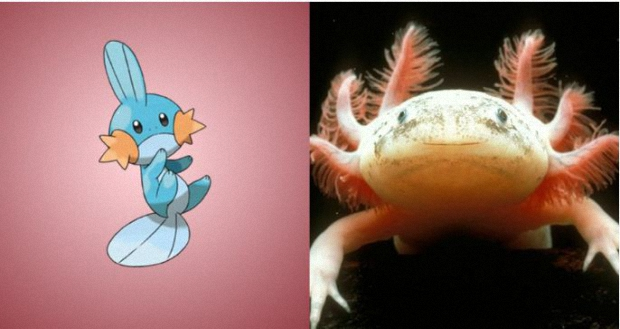 Mudkip is based on the axolotl