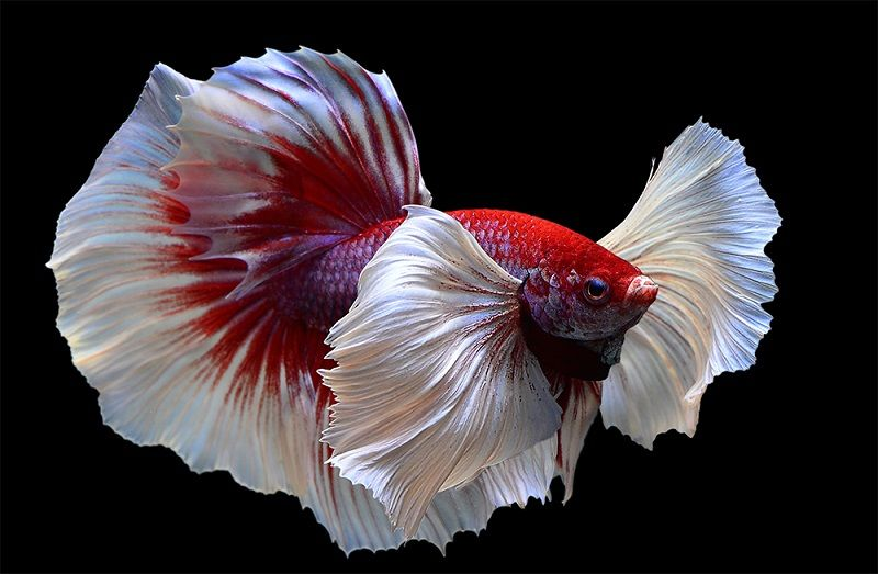 Image Betta Fish Care Water Change - the Conspiracy