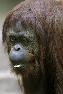 http://www.lanacion.com.ar/1754835-pediran-a-la-justicia-que-permita-la-liberacion-de-una-orangutana