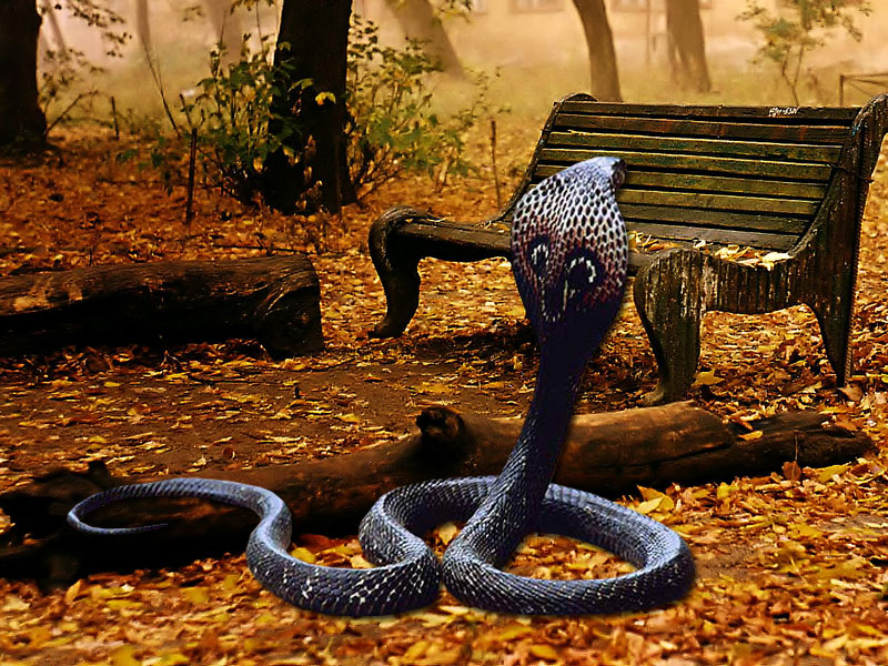 Wallpapers Download: King Cobra Wallpapers Download