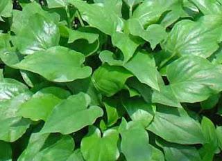 mungkin masih tidak umum alasannya tumbuhan ini sangat jarang dan bahkan cuma bisa ditemukan p Tumbuhan Berkhasiat 7 Manfaat Dan Khasiat Keladi Tikus Untuk Kesehatan