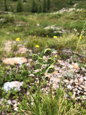 [Apiaceae] Bupleurum petraeum – Rock Hare's Ear (Bupleuro delle rocce)