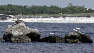 Pelikane im St. Andrews State Park, Florida