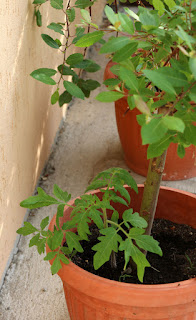A random tomato plant in a flower pot