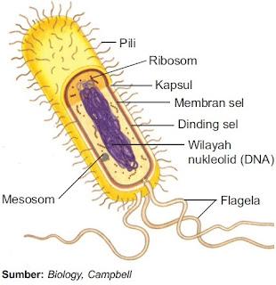 Semua sel prokariotik mempunyai membran plasma Struktur Sel Prokariotik – Gambar Fungsi Organel