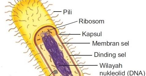 Beginilah Struktur Sel Prokariotik Gambar Fungsi Organel