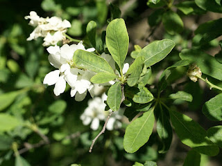 Buisson de perles - Exochorda korolkowii