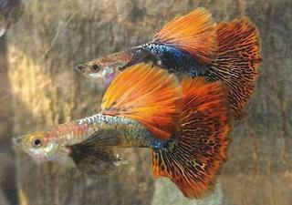 Gambar guppy dragon