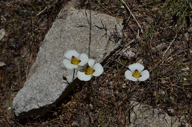 three wide open mariposa lilies