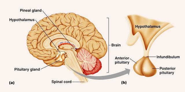 Jenis dan Fungsi Hormon Pada Kelenjar Hipofisis