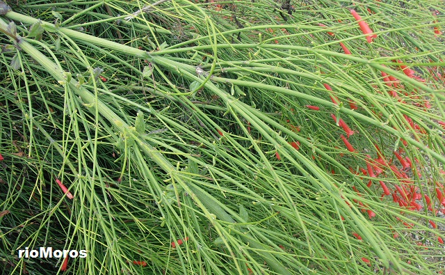 Arbusto Russelia equisetiformis Planta coral, lágrimas de amor