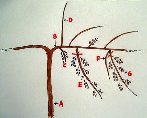 Esquema de los órganos de un kiwi femenino