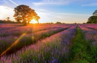 Foto Bunga Lavender Ungu yang Indah 13