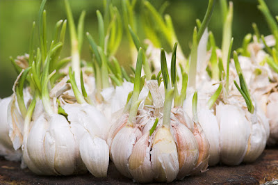 Does Raw Garlic Promote Hair Growth?