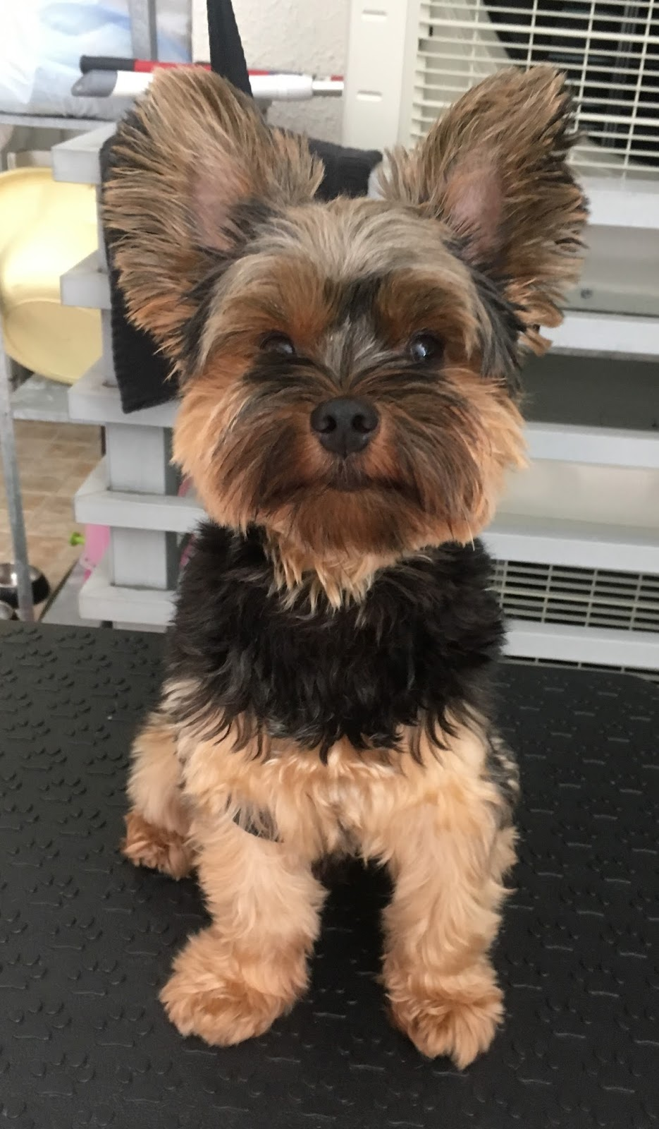 Yorkshire Terrier Welcome To Singapore Mobile Dog Stylists Pet