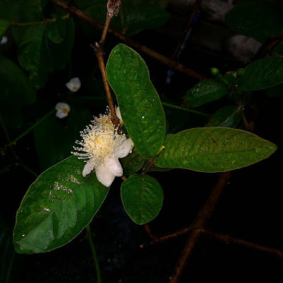 Guava's Flowers and It's Fruit