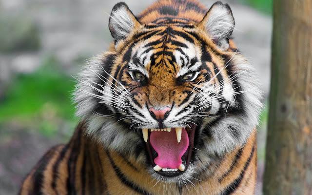 Tijger wallpaper met een brullende tijger