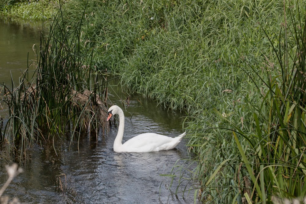 A Mute Swan along the river - Toby's First photo!!