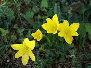 Stenbergie jaune - Sternbergia lutea - Vendangeuse jaune