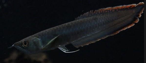 Ikan Arwana Black Brazil, dan Harga Arwana Silver pada Pasaran