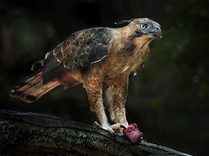 burung elang jawa