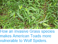 http://sciencythoughts.blogspot.co.uk/2014/10/how-invasive-grass-species-makes.html