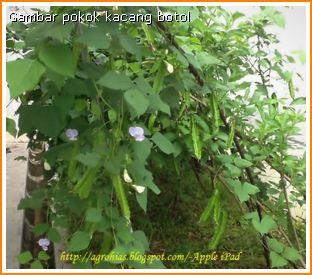 Kacang Botol Tedi dah berbunga-bunga