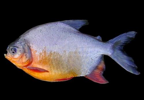 Kandungan Ikan Bawal - Gambar dan klasifikasi