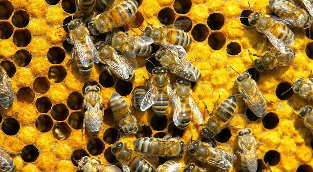 7 Jenis Spesies Lebah Penghasil Madu