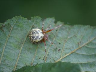 Épeire marbrée - Araignée marbrée - Araneus marmoreus