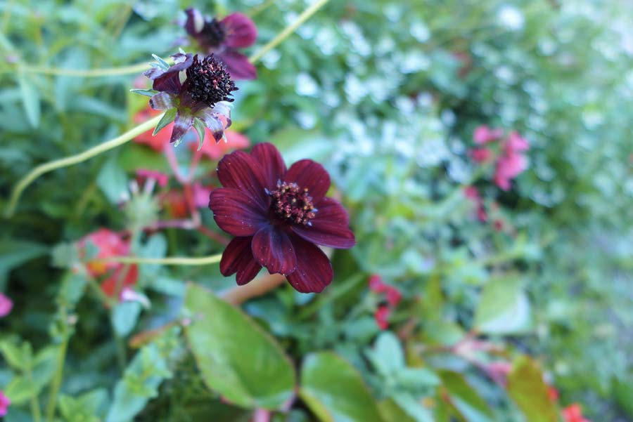 fleurs cosmos noirs