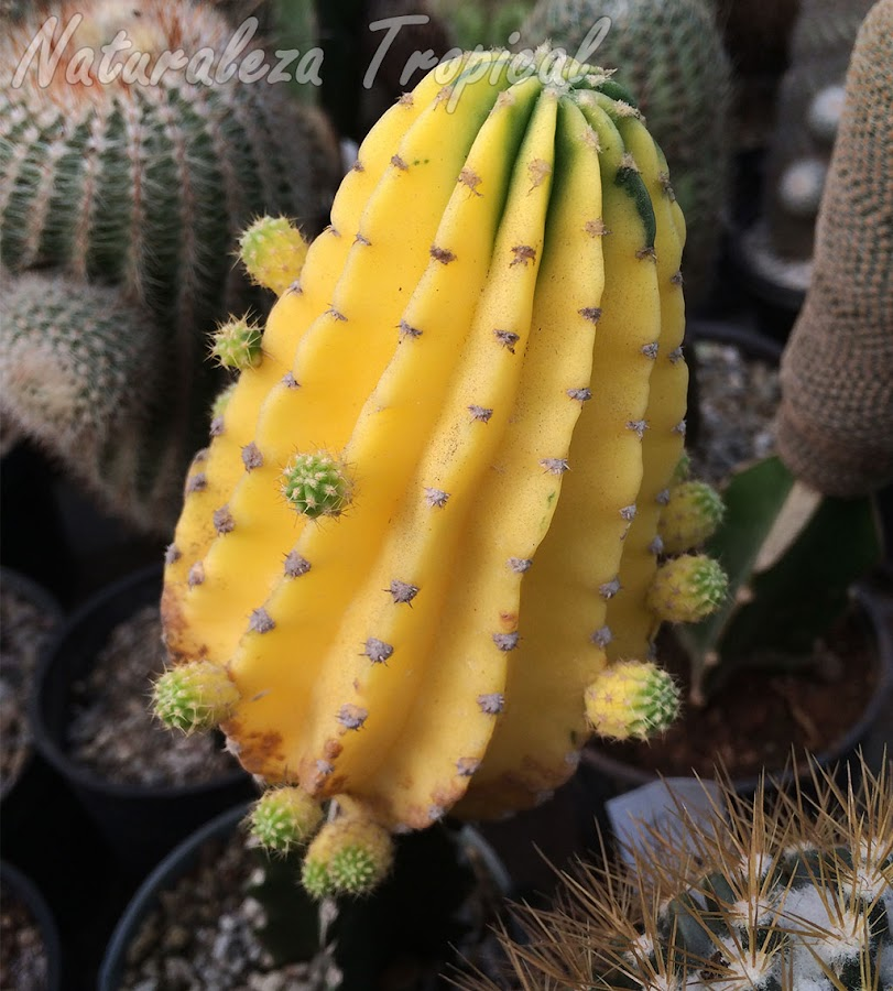 Vista de un cactus del género Echinopsis con una variegación casi total