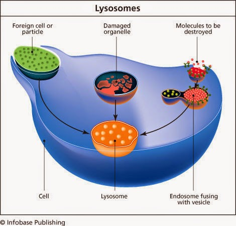 Sam and Lars: Dr. Cherqui and the Amazing Lysosome ...
