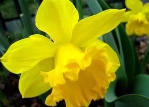 Can Metedoran Nergis çiçeğinin Faydaları