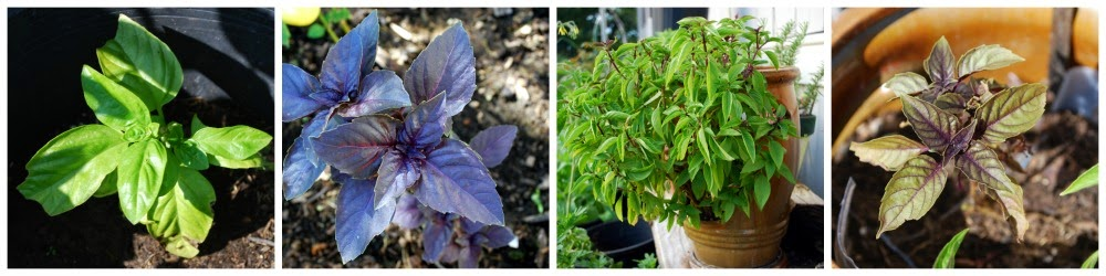 There are forty varieties of basil to choose from. Here are four: sweet Genovese, dark opal, cinnamon, and purple basil