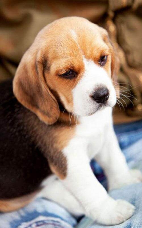 Beagle Wallpaper Download In High Resolution Free New Wallpapers Hd High Quality Motion