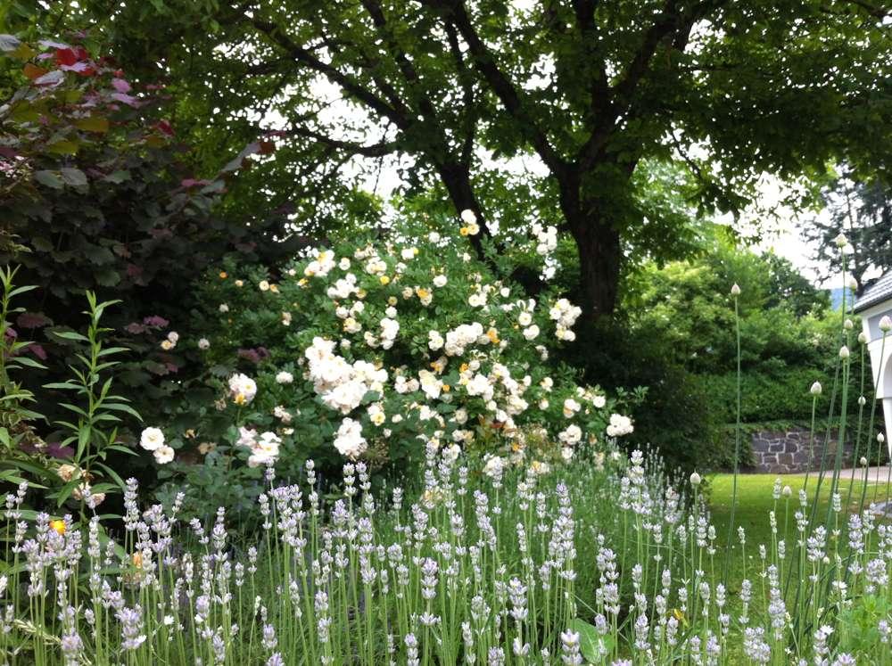 tolle gartentipps der nussbaum und die rosen im schatten. Black Bedroom Furniture Sets. Home Design Ideas