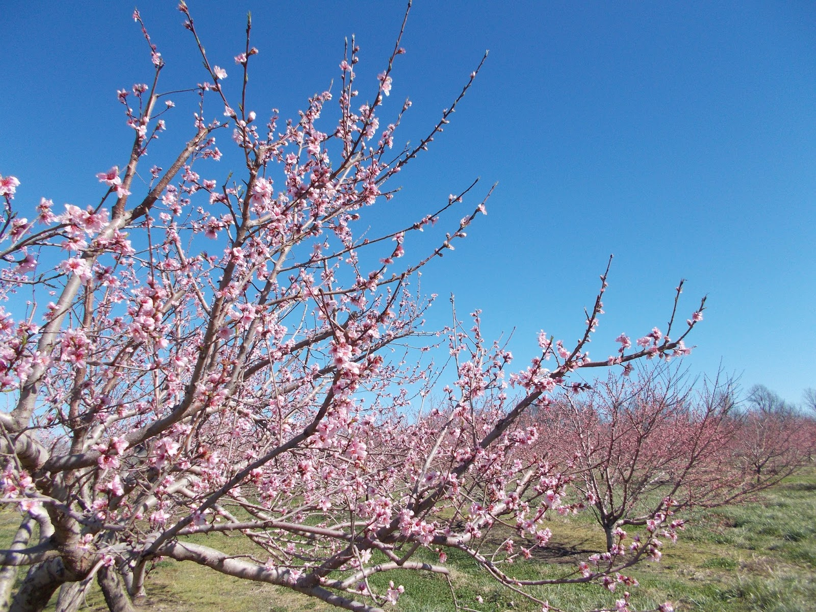 lower peach tree catholic single women A lower-carbohydrate, higher-fat diet reduces abdominal and intermuscular fat and increases insulin sensitivity in adults at risk of type 2 diabetes j nutr 2015 jan145(1):177s-83s 7 bazzano la et al effects of low-carbohydrate and low-fat diets: a randomized trial.