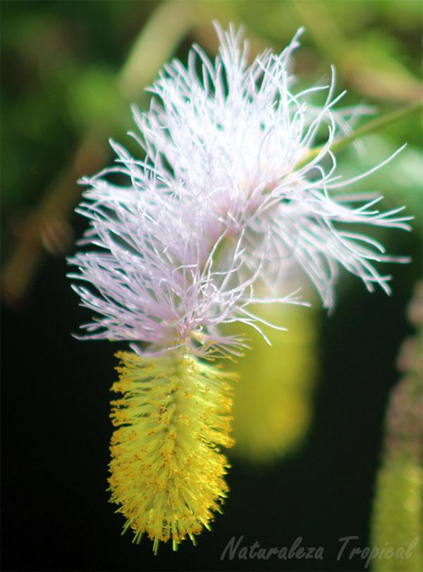 Inflorescencia del Marabú, Dichrostachys cinerea