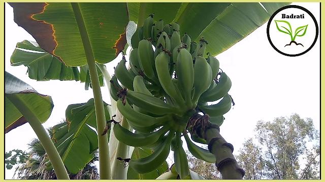 طريقة إكثار الموز بالخلفات أو الفسائل و كيفية العناية به Banana