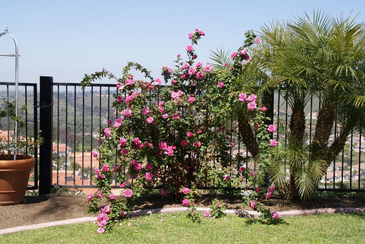 Zephirine Drouhin Climbing Rose organic garden dreams: rose of the month: 'zephirine drouhin'