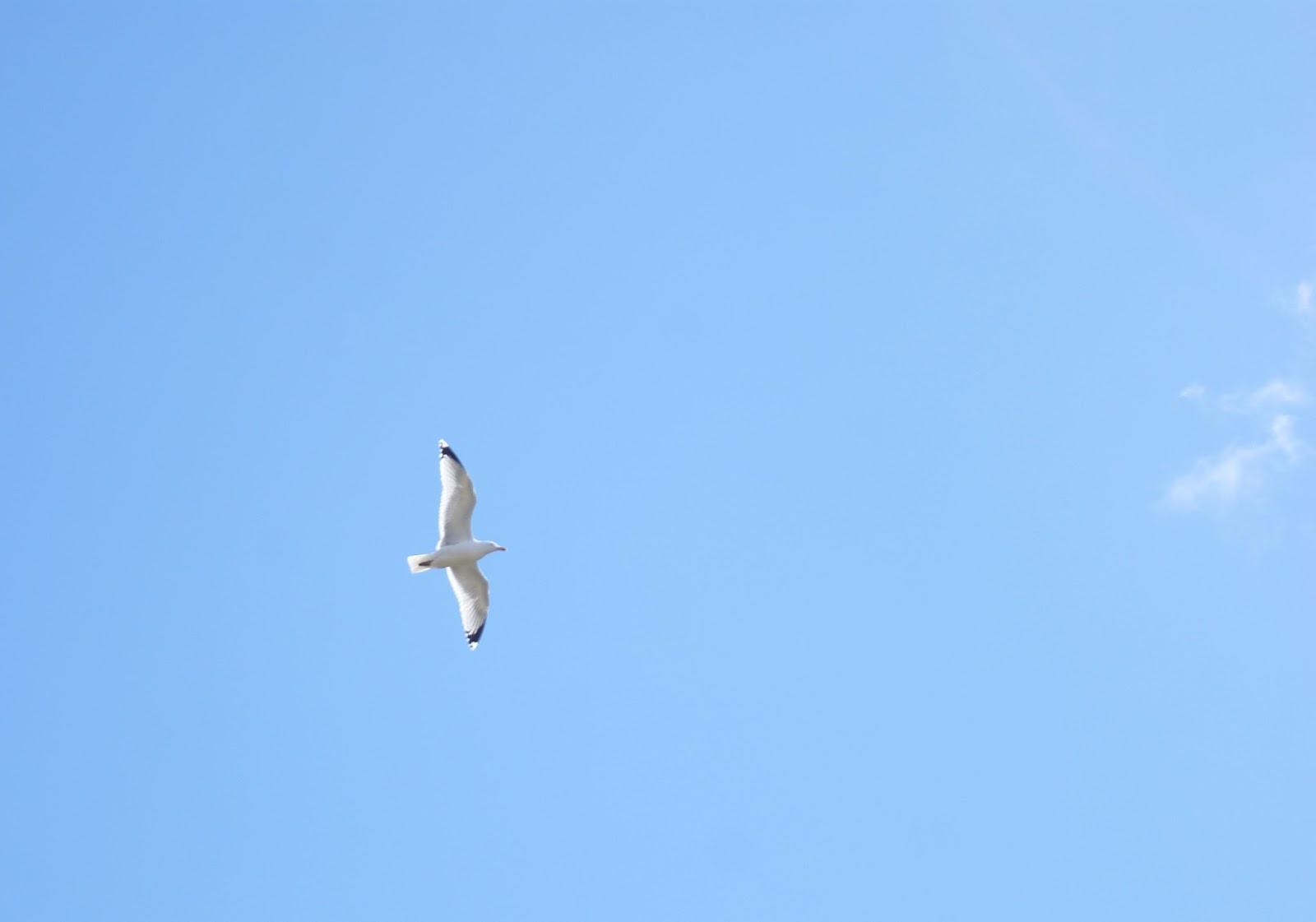 seagull bird loch linnhe highlands scotland united kingdom uk