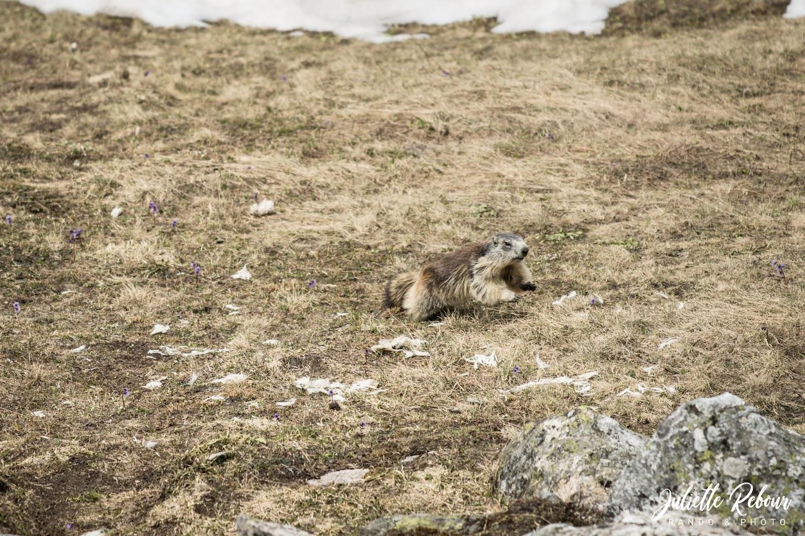 Marmotte qui court dans le Parc National de la Vanoise