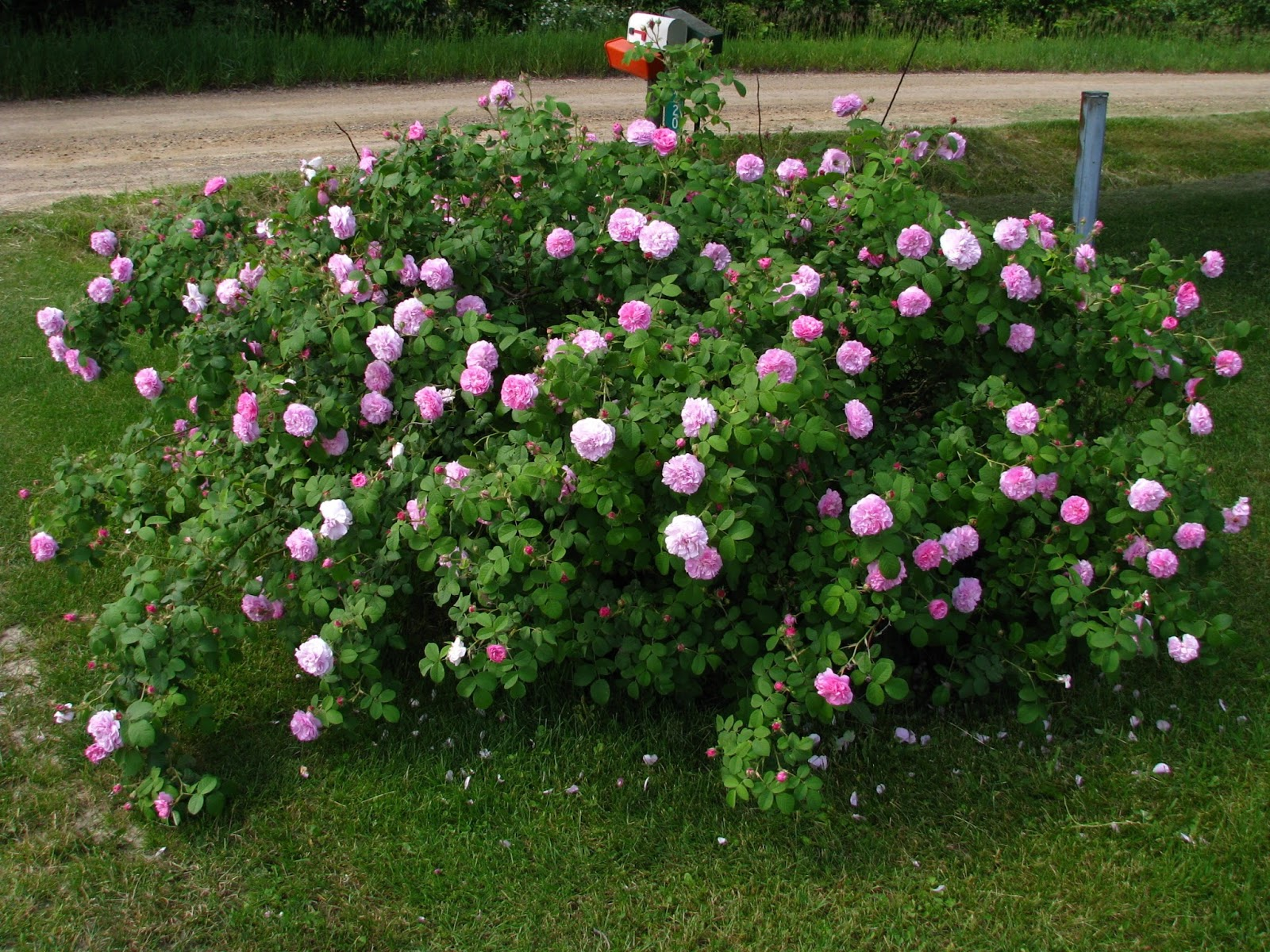 Wayside Treasures: Old wallpaper, roses and HIGH SPEED!!