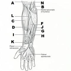 Gross Anatomy of the Palmaris Longus