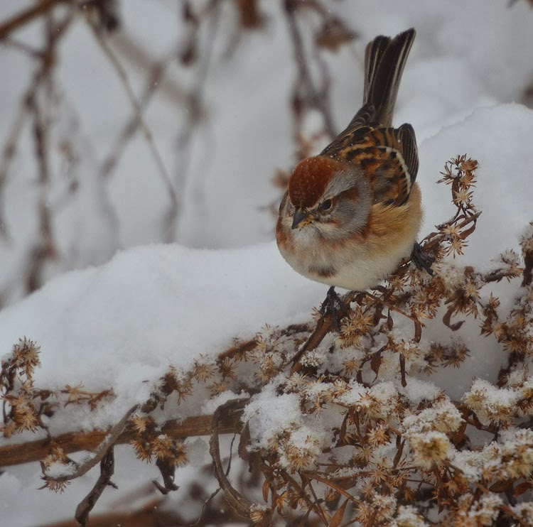 The chocolate brown of the sweet American Tree Sparrow is pretty against the white of the snow. Here he's pecking at spent goldenrod seeds.